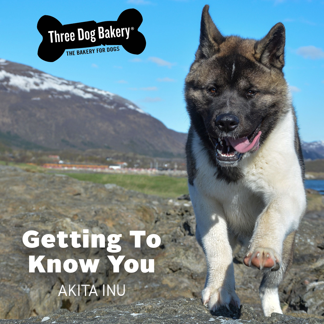 Getting To Know You Akita Inu Three Dog Bakery