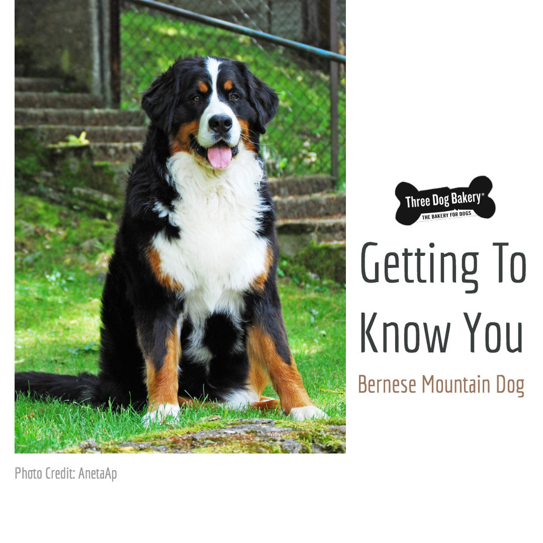 Getting To Know You Bernese Mountain Dog Three Dog Bakery