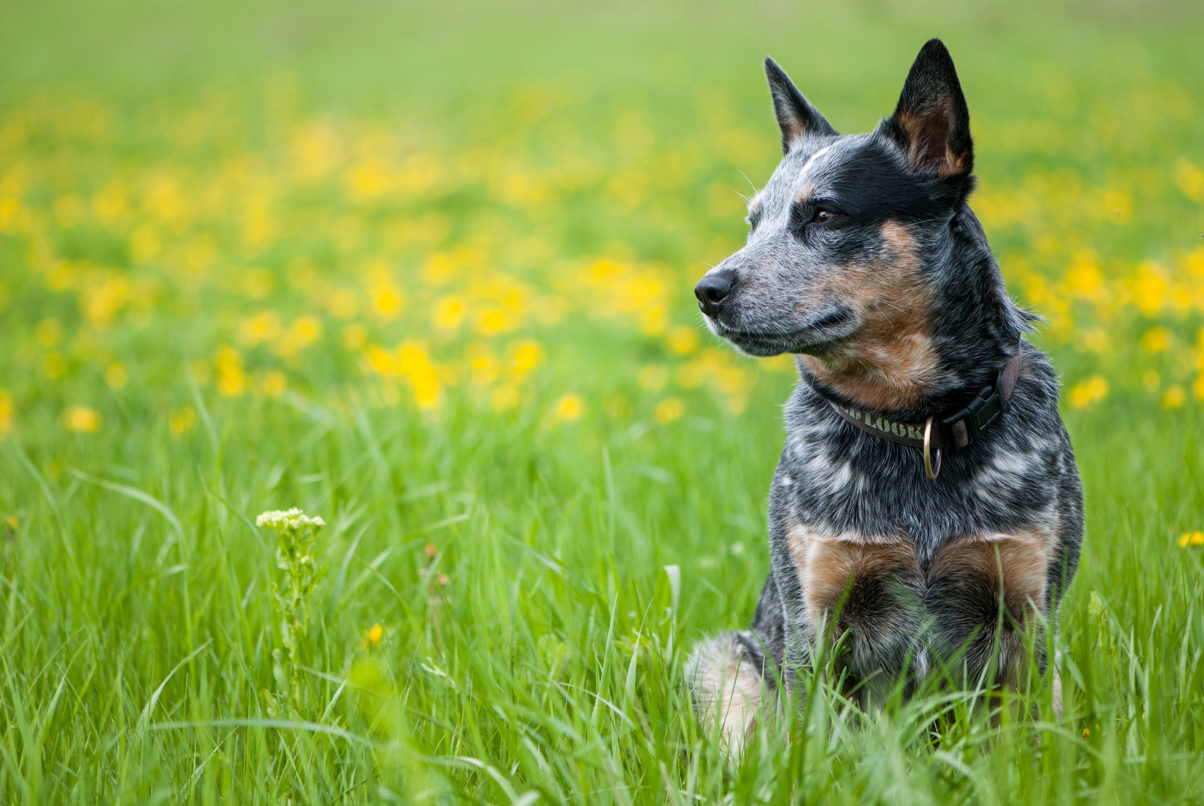 Getting To Know You Australian Cattle Dog Three Dog Bakery